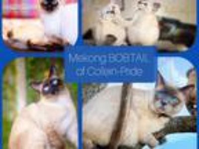 Mekong Bobtail Kittens Of Different Colors