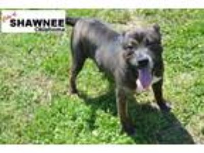 Adopt Raiden a Brindle - with White American Pit Bull Terrier / Mixed dog in