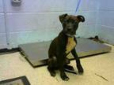 Adopt MILO a Pit Bull Terrier