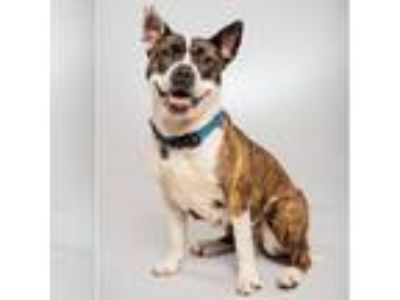 Adopt Genevieve a Cattle Dog, Bull Terrier