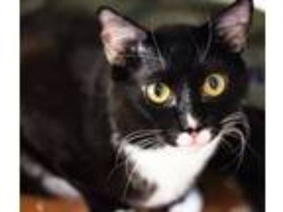 Adopt Nascha a Domestic Short Hair, Tuxedo