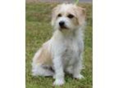 Adopt Toby a Wirehaired Terrier