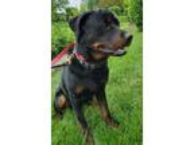 Adopt REBEL a Black - with Tan, Yellow or Fawn Rottweiler / Mixed dog in Oswego
