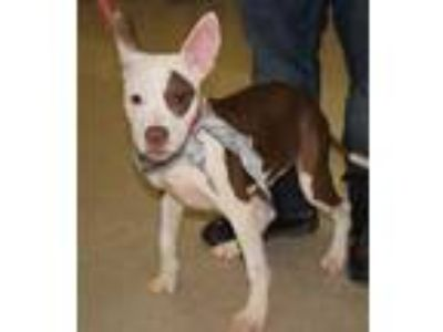 Adopt Stitch a Brown/Chocolate American Pit Bull Terrier / Mixed dog in