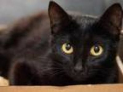 Adopt Harlow a All Black Domestic Shorthair / Domestic Shorthair / Mixed cat in