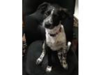 Adopt Jasmine a Black - with White Border Collie / Mixed dog in Prosper