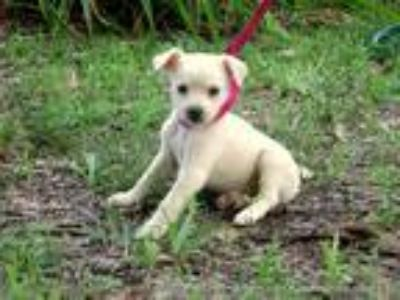 Adopt ALLIE/ADOPTED a White - with Tan, Yellow or Fawn Border Collie / Golden