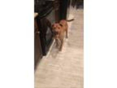 Adopt Rosie a Hound, Boxer