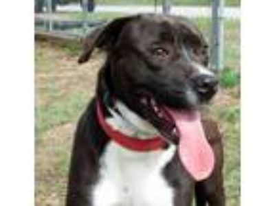 Adopt Cody *FOSTER NEEDED* a Labrador Retriever, Pit Bull Terrier