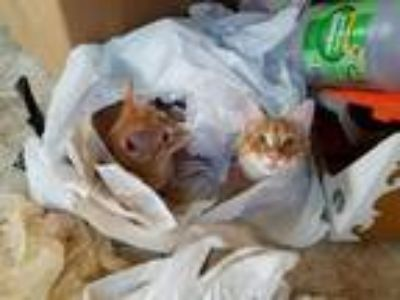 Adopt Stanley - Napa (Firestar adopted) a Orange or Red (Mostly) Domestic