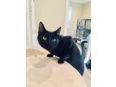 Adopt Sparrow a Domestic Short Hair