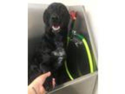 Adopt Guinness a Black - with White Labrador Retriever dog in West Columbia