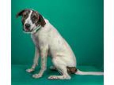 Adopt Big H a White - with Brown or Chocolate Terrier (Unknown Type