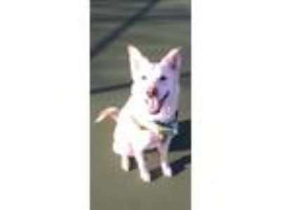 Adopt Araya Sunshine a White - with Tan, Yellow or Fawn Husky / German Shepherd