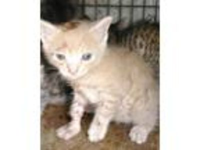 Adopt ASHTON a Orange or Red Domestic Shorthair / Mixed (short coat) cat in Fort