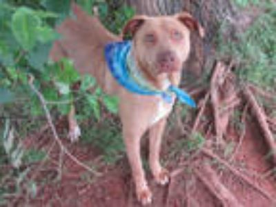 Adopt BAMBI a Brown/Chocolate American Pit Bull Terrier / Mixed dog in Oklahoma