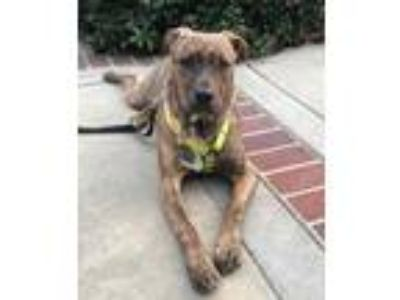 Adopt Sasha a Brindle - with White Mixed Breed (Medium) / Mixed dog in Concord