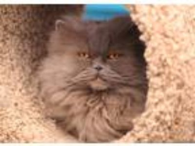 Adopt PUMPKIN a Gray or Blue Persian (long coat) cat in Royal Oak, MI (23821781)