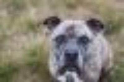 Nikko URGENT*** Pit Bull Terrier Dog
