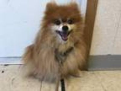 Adopt Tommie a Pomeranian, Mixed Breed