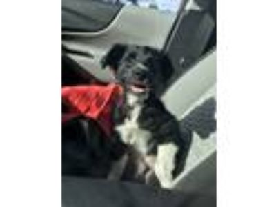 Adopt Becks a Black - with White Australian Shepherd dog in Washington
