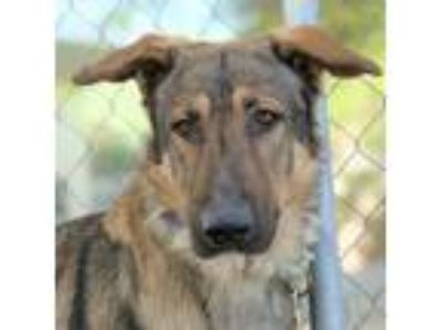 Adopt CANCHE a Gray/Blue/Silver/Salt & Pepper German Shepherd Dog / Mixed dog in