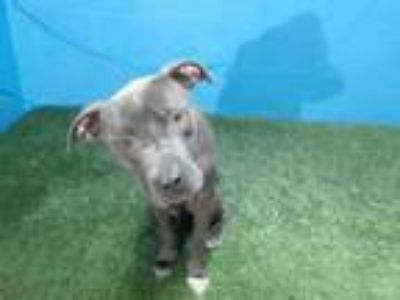 Adopt LIL B a Pit Bull Terrier, Mixed Breed