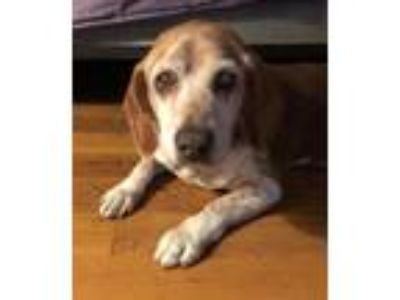 Adopt Red a Red/Golden/Orange/Chestnut - with White Basset Hound / Beagle /