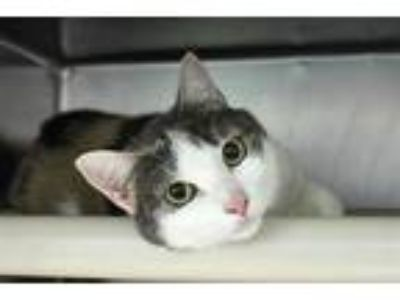 Adopt Little Girl a Calico or Dilute Calico Calico / Mixed (short coat) cat in