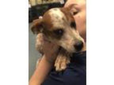 Adopt Sugar a Australian Cattle Dog / Blue Heeler