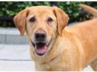 Adopt Bonnie a Tan/Yellow/Fawn Labrador Retriever / Mixed dog in Chicago