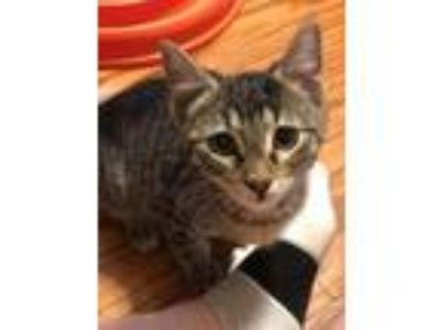 Adopt Bandit a Brown Tabby Domestic Shorthair / Mixed cat in Abbeville