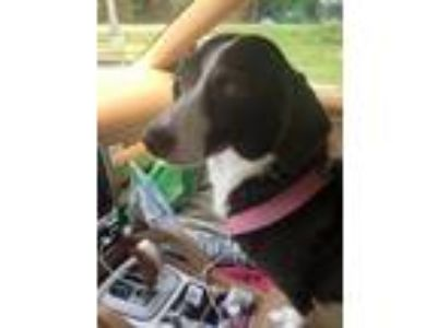 Adopt Coco a Brown/Chocolate - with White Dachshund / Mixed dog in Pt orange