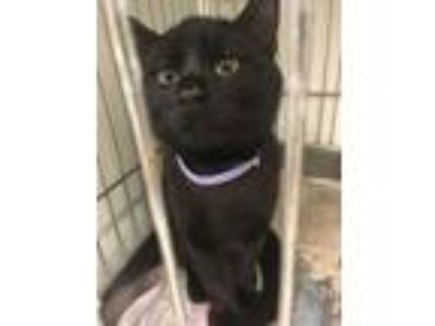 Adopt Bagheera a All Black Domestic Shorthair / Mixed cat in Rock Springs