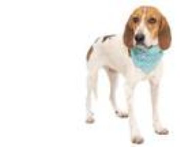 Adopt INDY a Tricolor (Tan/Brown & Black & White) Foxhound / Mixed dog in