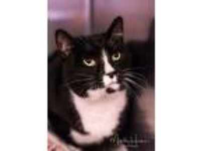 Adopt Sheba a Domestic Short Hair