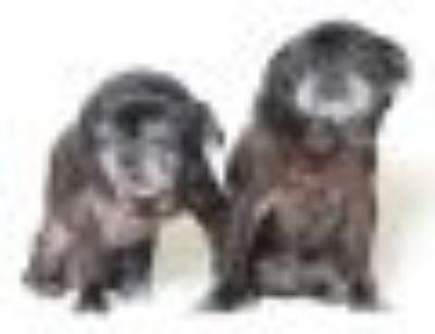 Filch Pug Dog