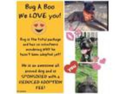 Adopt Bug a Boo a Pit Bull Terrier