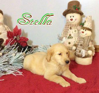 Stella Female AKC Golden Retriever 330-826-1882$575.00New Photos 11/20/18