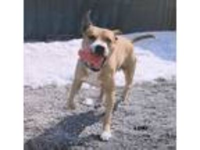 Adopt LOKI a Brown/Chocolate - with White Pit Bull Terrier / Mixed dog in