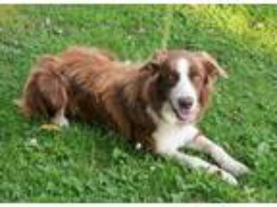 Adopt Copper a Red/Golden/Orange/Chestnut - with White Border Collie / Mixed dog