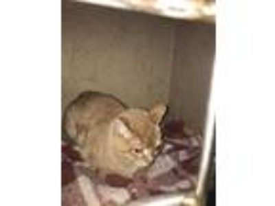 Adopt O'MALLEY a Cream or Ivory Domestic Shorthair / Mixed (short coat) cat in