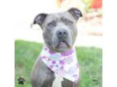 Adopt One More Silver Dollar a Pit Bull Terrier