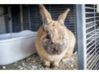Adopt Sir Hopkins a Other/Unknown / Mixed rabbit in Napa, CA (25357333)