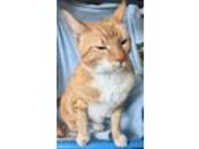 Adopt Oliver a Domestic Short Hair, Tabby