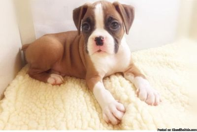 Male and Female Baby BOXER Puppies.