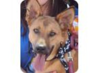Adopt Lobo a Brown/Chocolate - with Black German Shepherd Dog / Mixed dog in San