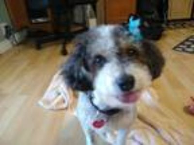 Adopt Roxy a White - with Black Poodle (Miniature) / Mixed dog in Fountain