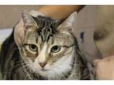 Adopt RINGO a Gray or Blue Domestic Shorthair / Mixed (short coat) cat in
