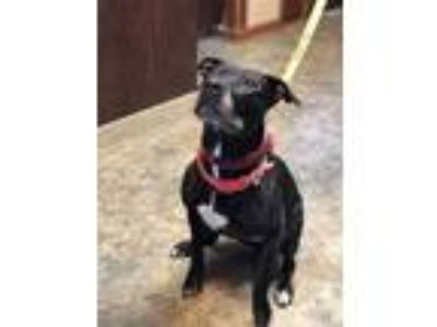 Adopt April a Pit Bull Terrier